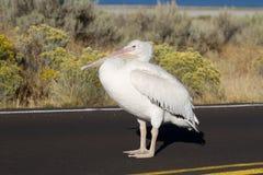 White Pelican, Pelecanus erythrorhynchos Royalty Free Stock Photography