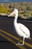 White Pelican, Pelecanus erythrorhynchos Stock Photography