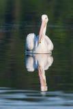 White Pelican (Pelecanus erythrorhynchos) Stock Photography