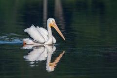 White Pelican (Pelecanus erythrorhynchos) Stock Images