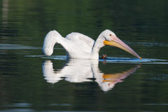 White Pelican (Pelecanus erythrorhynchos) Royalty Free Stock Photo