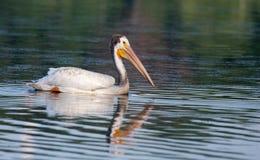 White Pelican (Pelecanus erythrorhynchos) Royalty Free Stock Image