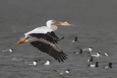 White Pelican (Pelecanus erythrorhynchus) in Flight - Texas Royalty Free Stock Image