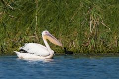 White Pelican (Pelecanus onocrotalus) Stock Photos