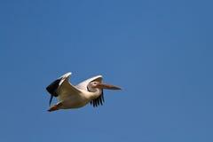 White pelican (pelecanus onocrotalus) Stock Images