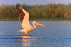 White pelican (pelecanus onocrotalus) Stock Photo