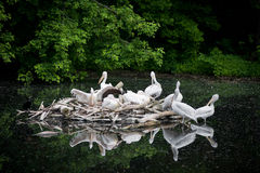 White Pelican - Pelecanus onocrotalus Royalty Free Stock Photos