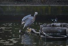 White Pelican or Pelecanus onocrotalus alight on trunk in lake and splash water around. Sofia, Bulgaria Royalty Free Stock Photo