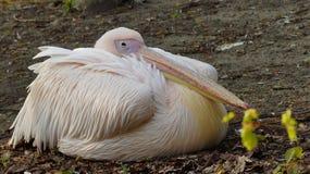 White Pelican (Pelecanus onocrotalus) Stock Photo