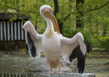 White Pelican (Pelecanus onocrotalus) Royalty Free Stock Photo
