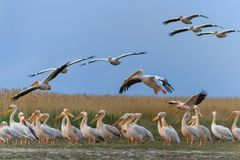 White pelican (pelecanus onocrotalus) Royalty Free Stock Images