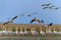 White pelican (pelecanus onocrotalus) Royalty Free Stock Images