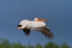 White pelican (pelecanus onocrotalus) in flight Royalty Free Stock Photography