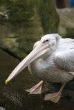 White Pelican (Pelecanus onocrotalus). In A Park Stock Image