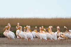 White pelican (pelecanus onocrotalus) Royalty Free Stock Photography
