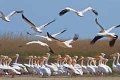 White pelican (pelecanus onocrotalus) Royalty Free Stock Photography