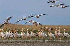 White pelican (pelecanus onocrotalus) Royalty Free Stock Image