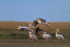 White pelican (pelecanus onocrotalus Royalty Free Stock Image