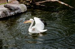 White pelican playing on the river royalty free stock photo