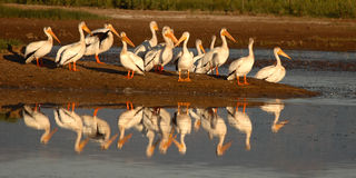 White Pelican Point. A flock of White Pelicans on the penninsula of a lake in Colorado Royalty Free Stock Photos