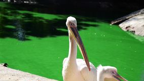 White pelican on a pond on a summer day  close up stock footage