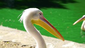 White pelican on a pond on a summer day stock video footage