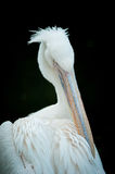White pelican portrait  on black backround Royalty Free Stock Image