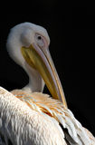 White Pelican portrait. White pelican cleaning his plumage with its beak Stock Image