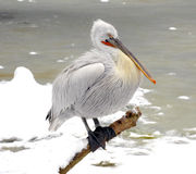 White Pelican in Prague zoo. Stock Photography