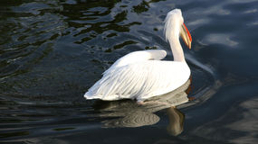 White pelican with reflection in the blue lake. Royalty Free Stock Images