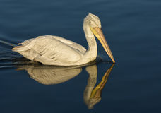 White Pelican with reflection swimming on sea. Royalty Free Stock Photography
