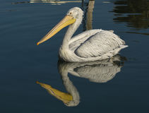 White Pelican with reflection swimming on sea. Royalty Free Stock Image