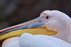 White pelican's head Stock Photos