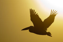 White Pelican Silhouette Royalty Free Stock Images