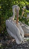 White pelican on the ground 2 stock image