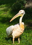White pelican standing on grass Royalty Free Stock Photography
