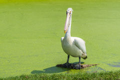 White pelican is standing in green swamp for finding a fish Royalty Free Stock Photography