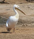 White Pelican standing Stock Photo