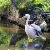 White pelican standing in the water stock photography