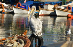 White pelican standing on whell in harbour. White pelican standing on whell in harbour, closeup Royalty Free Stock Photos