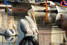 White pelican standing on whell in harbour. Stock Images