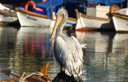 White pelican standing on whell in harbour. Stock Image