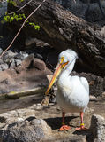 White Pelican. A white pelican stands on a rock Royalty Free Stock Image