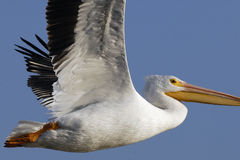 White Pelican stare. White pelican against a blue sky in flight watching below Royalty Free Stock Image
