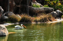 White Pelican Swimming Royalty Free Stock Photography