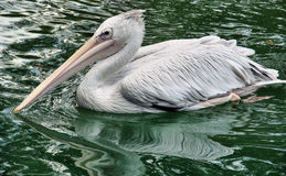 White pelican swimming. Portrait of a white pelican in a natural outdoor setting swimming in water royalty free stock photography