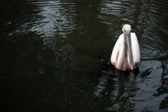 White Pelican swimming along Royalty Free Stock Image