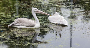 White pelican swimming stock photography