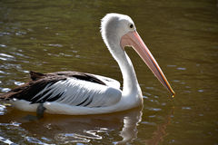 White pelican. Swimming in muddy waters in Australia Royalty Free Stock Images
