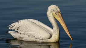 White pelican swimming on sea, , closeup. Royalty Free Stock Photo